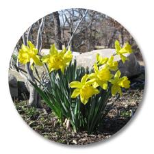 Daffodils – Spring 2012